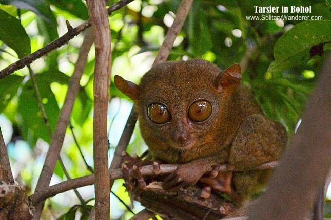 aleah-tarsier