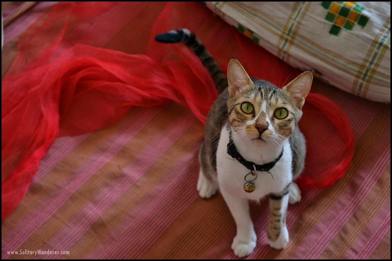 kolkata cat