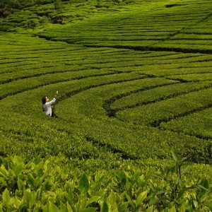 The Ranca Bali Tea Plantation near Bandung is a studyhellip