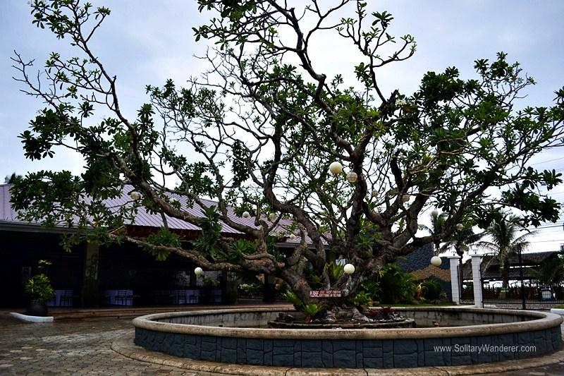 Huge frangipani tree (kalachuchi) in front of the driveway.