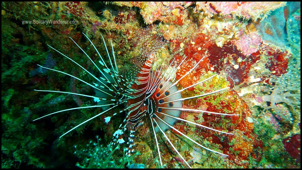 We saw a lot of these so-pretty lion fish.