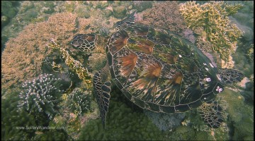 One of the many sea turtles in the Chapel dive site.