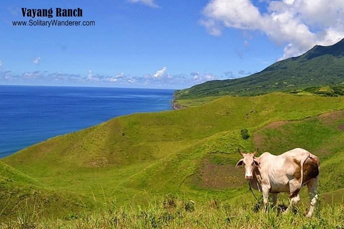 cow batanes