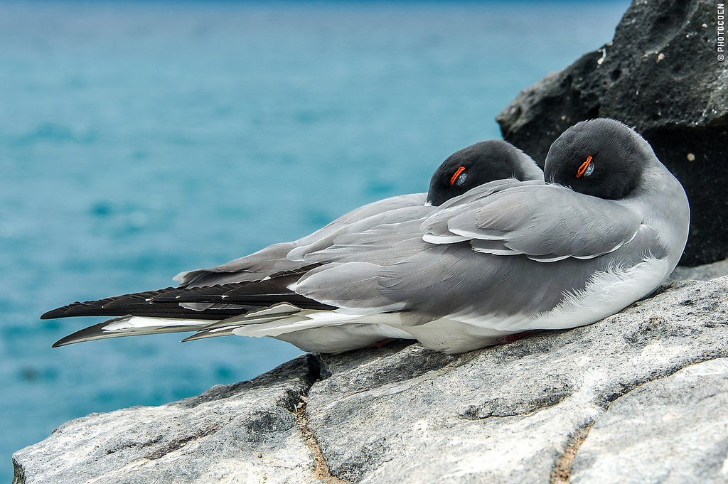 Swallow-tailed Gull  galapagos