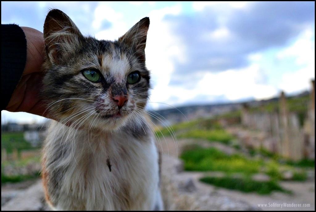 cat in roman ruins in jerash