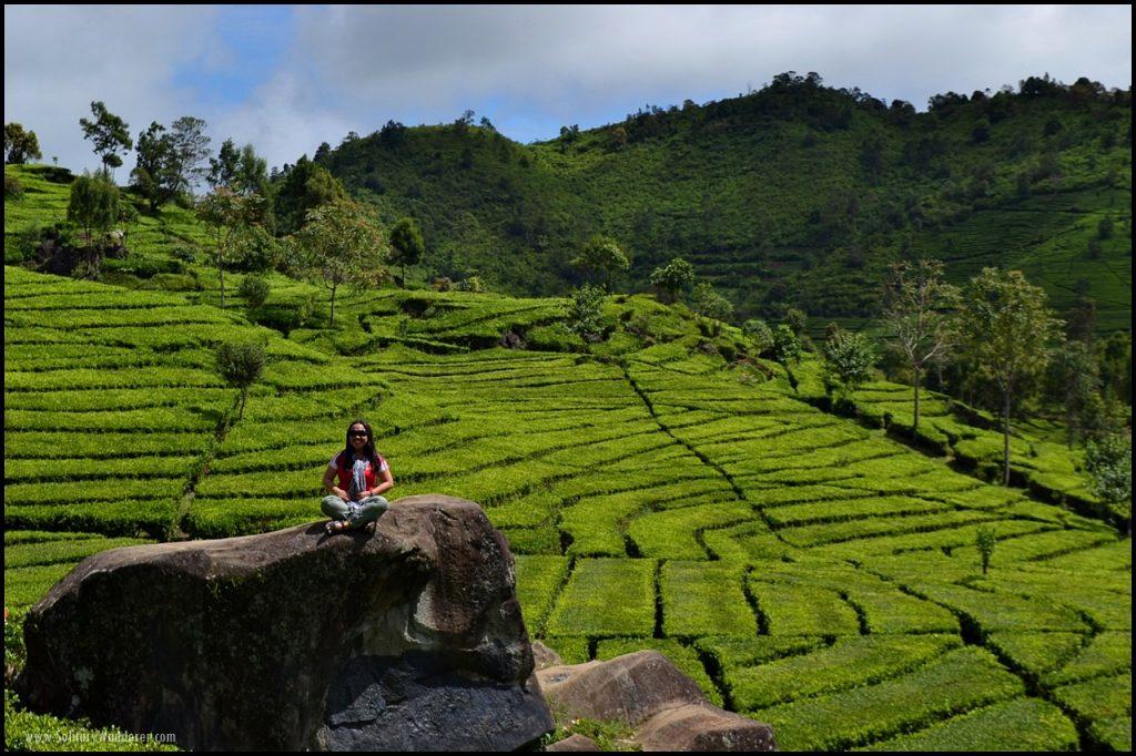 ranca bali tea plantation