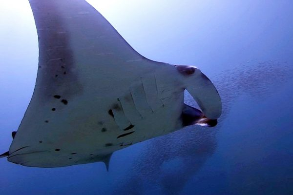 Diving with Manta Rays Maldives Bandos