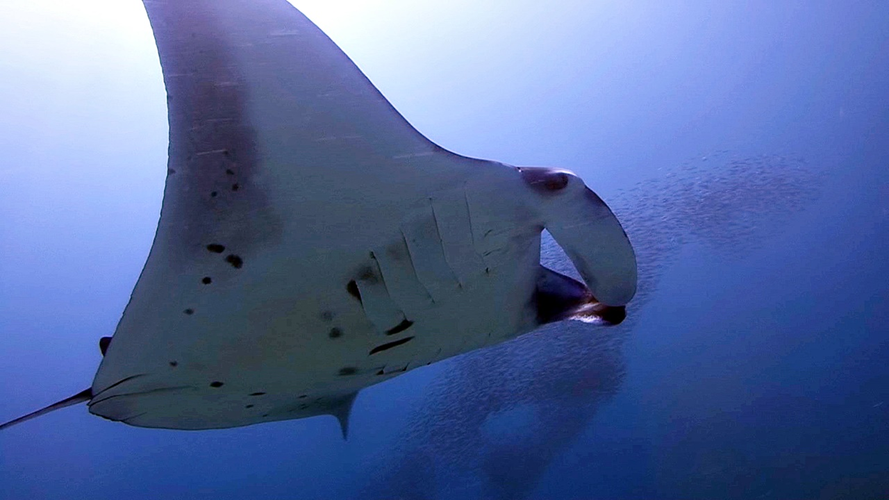 Diving In The Maldives Swimming With Manta Rays And Other