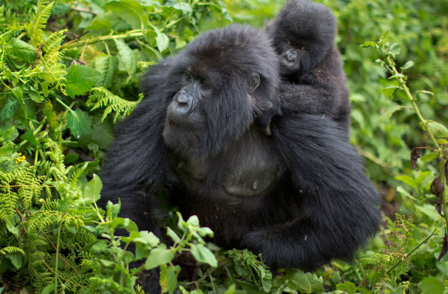 4 Ways to Conserve and Protect the Silverback Gorilla Population in Africa