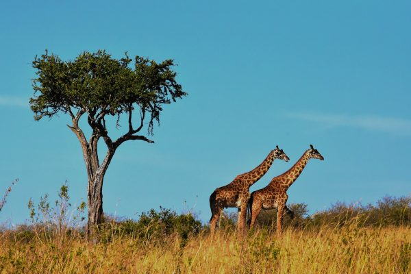 vasukibelavadi tanzania giraffes