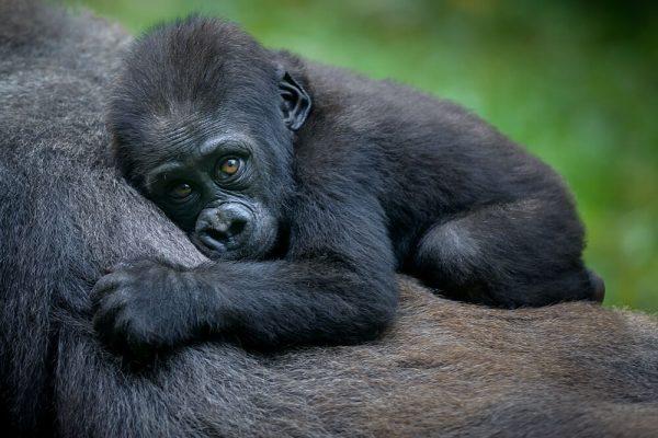 Mountain Gorilla in Rwanda Safari