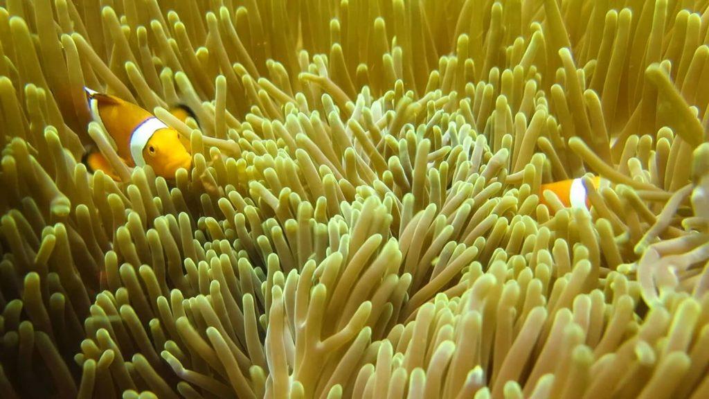 clownfish boracay -- solitarywanderer