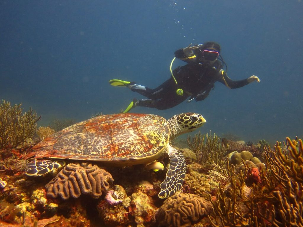 diving in boracay -- hawksbill turtle -- solitary wanderer