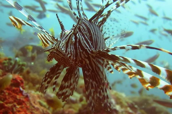 diving in boracay -- lionfish -- solitary wanderer