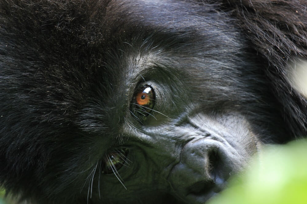 Mountain gorilla in Bwindi forest Uganda