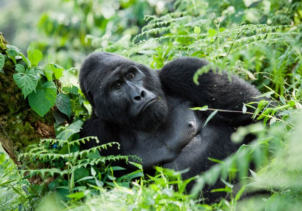 Male mountain gorilla Bwindi Impenetrable Forest National Park