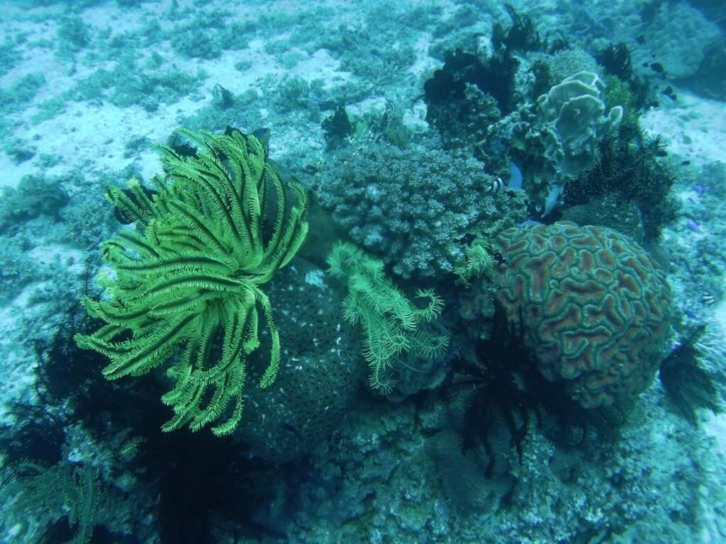 corals in camiguin