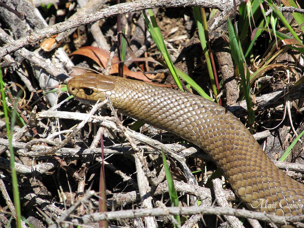 Eastern Brown snake Australia